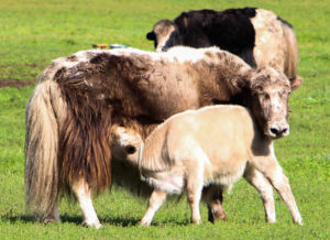 Mongolian Handicrafts yaks wool sheep camel fair trade natural products